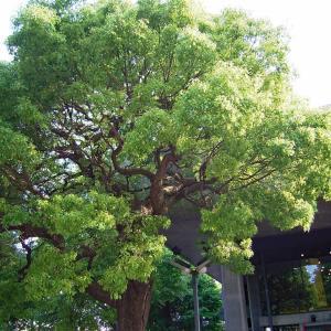 上野の大木
