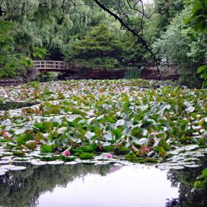 スイレンの池