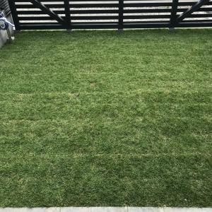 芝が生きかえった。笑