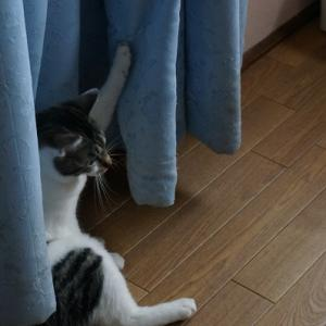 カーテンに爪が引っかかった猫
