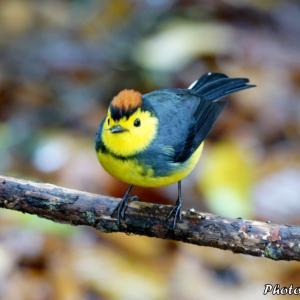 コスタリカ サベグレ谷の野鳥たち