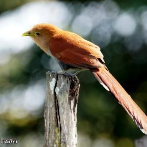 ベリーズ 巨木のそばの Squirrel Cuckoo (スクゥオール カックー 日本名リスカッコー)
