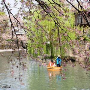 日本 大垣市水門川の桜
