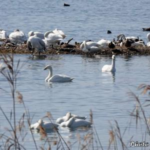 日本 琵琶湖の小白鳥