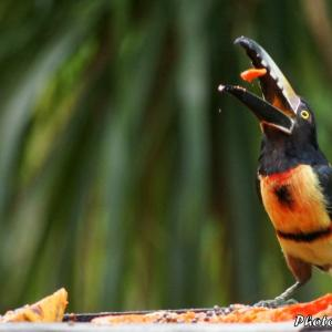 ベリーズ ホテルの餌台に来た Collared Aracari(カラード アラカリ)