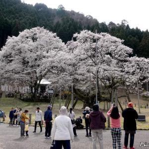 日本 日本三大桜の一つ薄墨桜