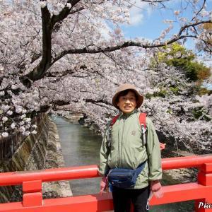 日本 背景は大垣市水門川の満開の桜