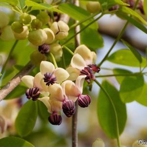 日本 五葉アケビやシャガの花など