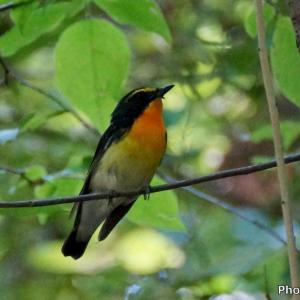 日本 6月16日に文殊の森公園で出会ったキビタキ、メジロ、サンショウクイ