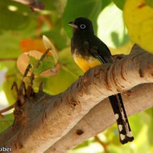 ベリーズ サンペドロのビーチの野鳥たち