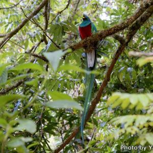 コスタリカ 火の鳥ケツァール