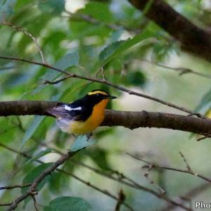 日本 7月2日の文殊の森公園の野鳥たち(キビタキ、サンショウクイ、サメビタキ)