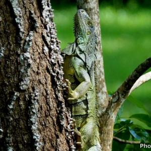 ベリーズ 野生のグリーンイグアナ