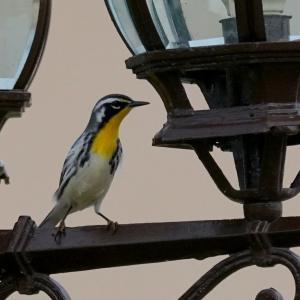 ベリーズ 自宅庭の Yellow-throated Warbler (イエロースローテッド ワーブラー)