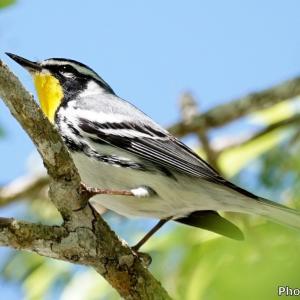 ベリーズ ホテルの庭に来たYellow-throated Warbler(イエロースローテッドワーブラー)