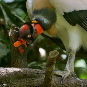 ベリーズ 動物園のトキイロコンドル