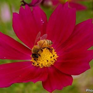 日本 コスモスとミツバチ