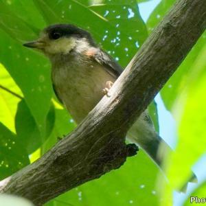 日本 6月17日長良川ふれあいの森の野鳥たち