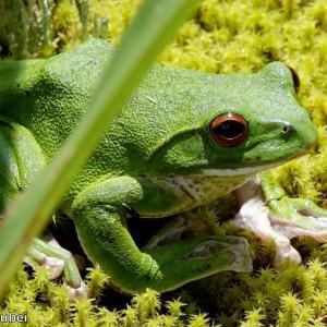 日本 緑色の新種のカエル