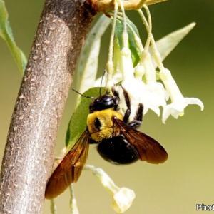 日本 グミの木に来たクマバチ