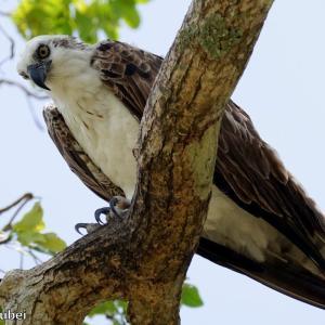 ベリーズ クルックドツリー野生生物保護区のオスプレイ