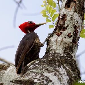 ベリーズ メイフラワー・ボカウイーナ国立公園の野鳥たち