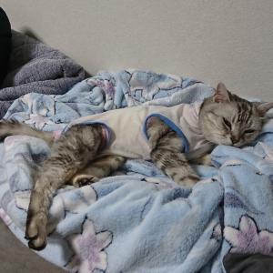 洋服を着て3年半、まだまだ頑張る猫🐈