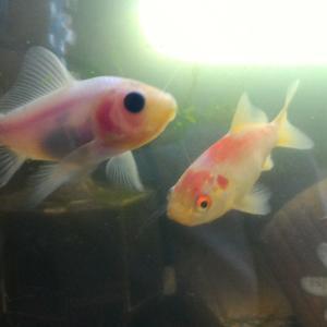 庄内金魚の白いでかいの、一時隔離して戻った