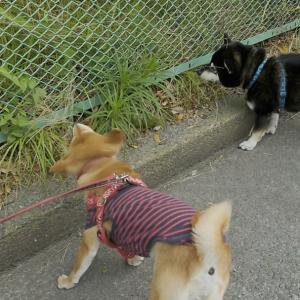 テンテン、柴犬大好きな友人と久しぶりに会いました