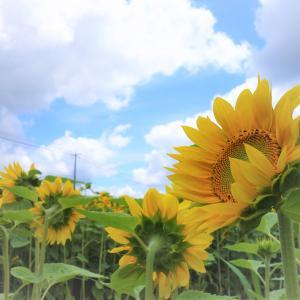 【北海道ニセコ】ひまわり畑