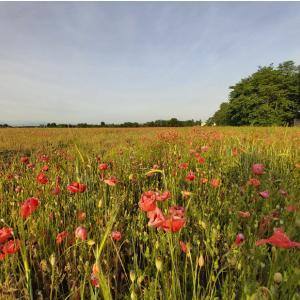 ミラノ郊外の風景 ケシの花