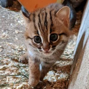 【画像】ネズミより小さい 世界一小さなネコの赤ちゃんが誕生! 愛らしい姿に飼育員もメロメロ
