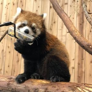 【画像】ワイが撮った渾身のレッサーパンダちゃんがこちら
