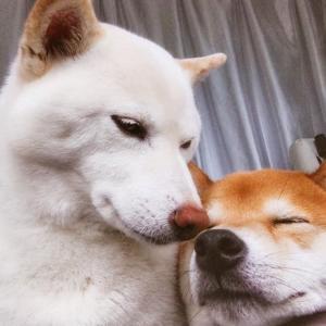 【画像】この柴犬×2が可愛いんだが