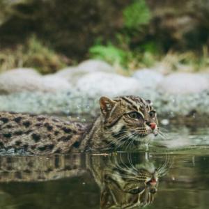【野生】漁をする「スナドリネコ」、ネコなのに爪は引っ込められないし、なぜか水かきがある