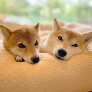 【画像】イッヌ、ベッドの広さを知らない