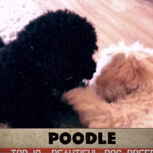 【動画】外人が選ぶ美しい犬トップ10が完璧すぎるwww