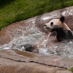 【動画】中に人間入ってそうwパンダさんのあざとい可愛い溺れ芸wwww