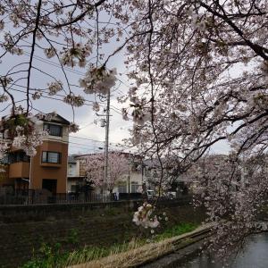大岡川の桜を見てきた。