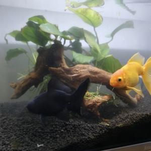 金魚の水槽とかき氷