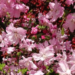 桜満開間近🌸🌸 ごゆるりさんぽ記