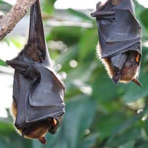 コウモリは感染症の根源なのか?新種のウイルスを防ごう!!