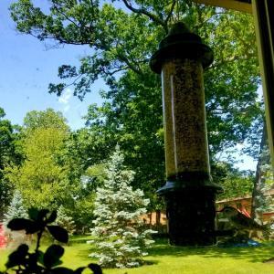 クレマチスが咲きポプラの種が舞い降る夏日