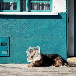 パースの獣医さん 犬の避妊手術