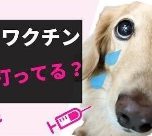 犬のワクチン毎年打ってる?