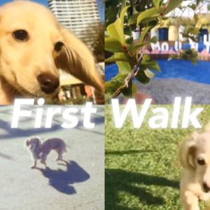 初めてのお散歩 ダックス の子犬