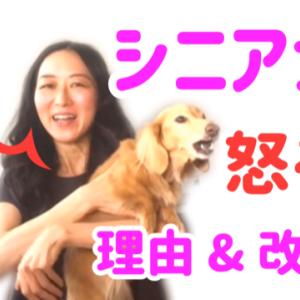 シニア犬が怒る理由と改善策