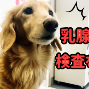 シニア犬 乳腺腫瘍の細胞診