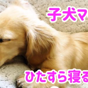 子犬マイティがひたすら寝る動画 カニンヘンダックス 7ヶ月1週目
