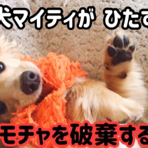 子犬マイティがオモチャを破壊する動画 カニンヘンダックス7ヶ月3週目